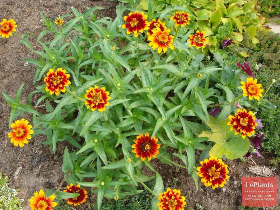 циннии – посадка семенами