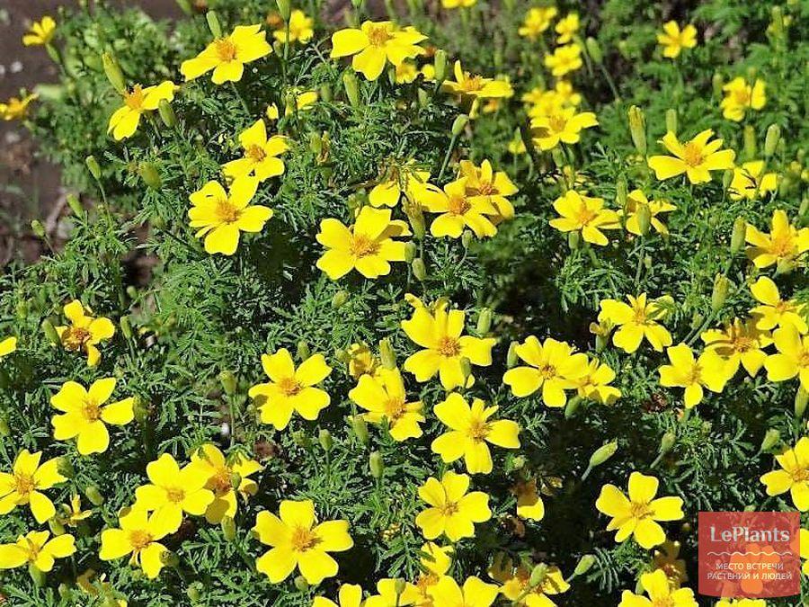 бархатцы тонколистные – выращивание из семян (когда сажать)