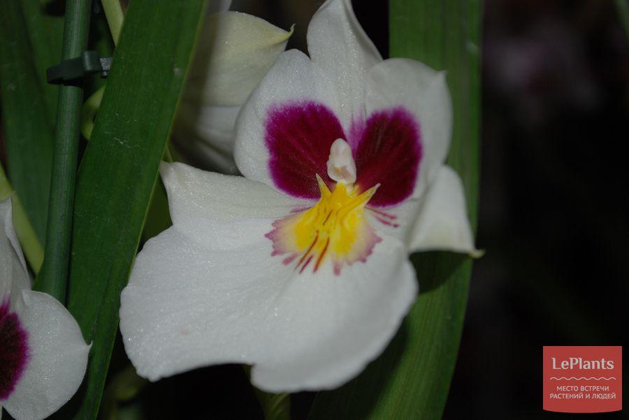 Miltoniopsis