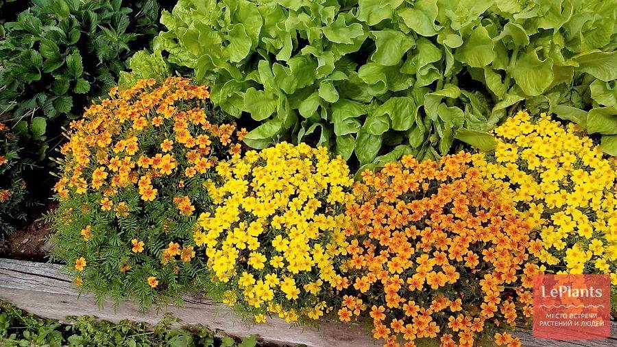 бархатцы мимимикс – выращивание из семян (когда сажать)