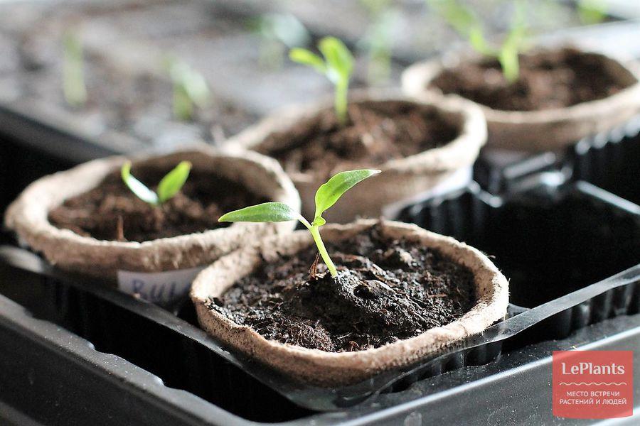 выращивание рассады баклажанов без пикировки