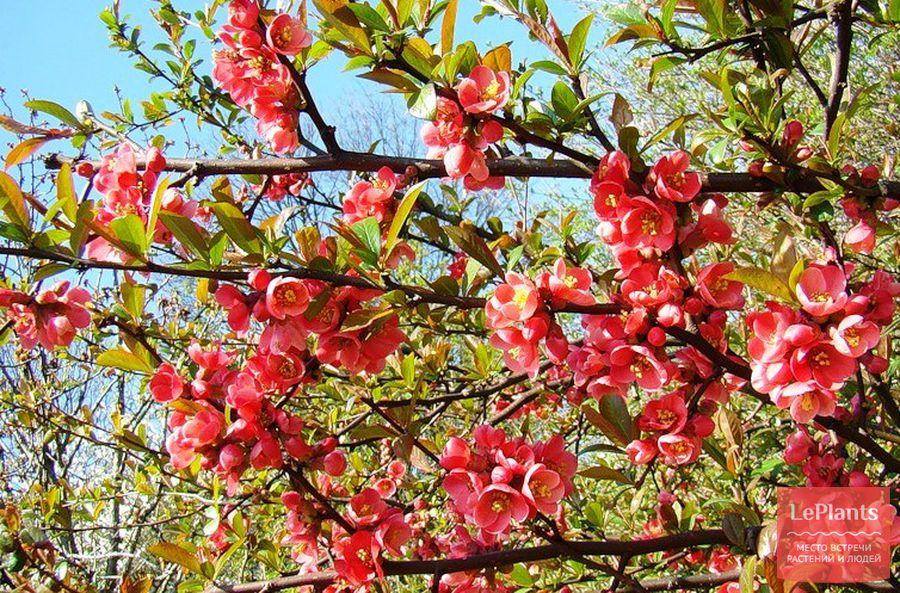 хеномелес — купить для оригинальной красоты сада