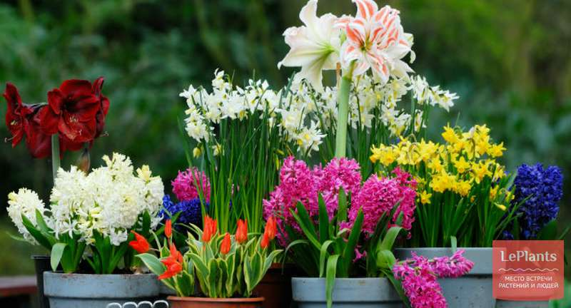 Многообразие луковичных растений