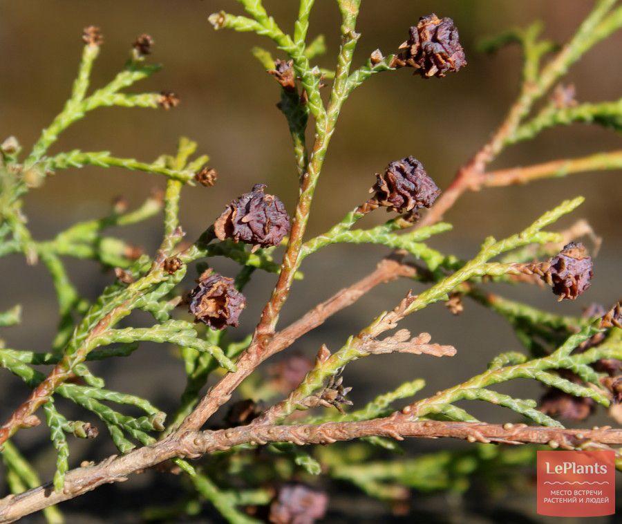 как выращивать кипарисовик туевидный