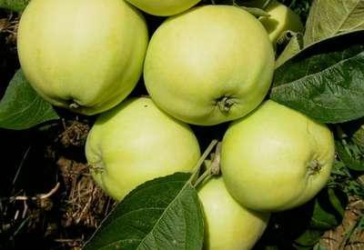 Яблоня 'Папировка'