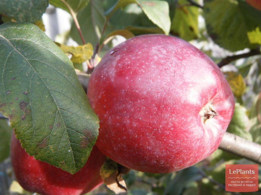 Яблоня 'Либерти'