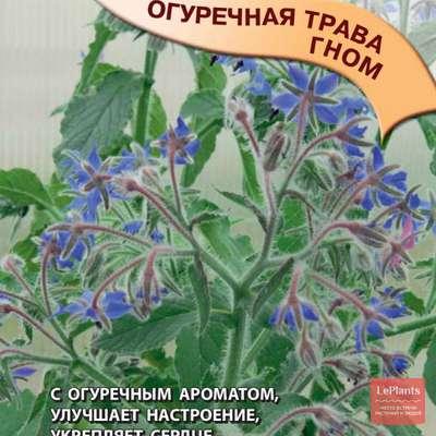 Огуречная трава лекарственная 'Гном'