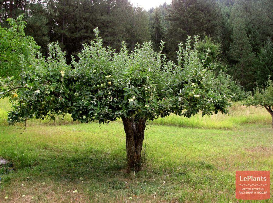 Яблоня с зонтичной кроной