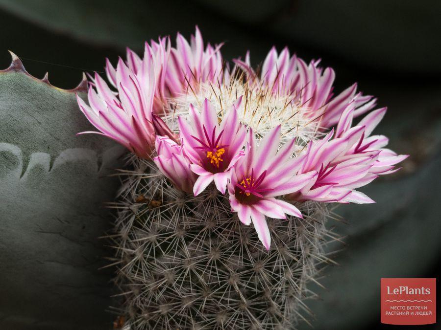 Маммиллярия беловатая цветет