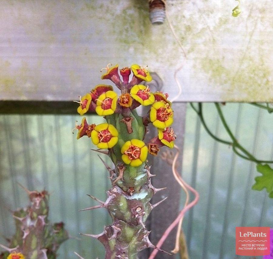 Цветки Молочая актиноклада