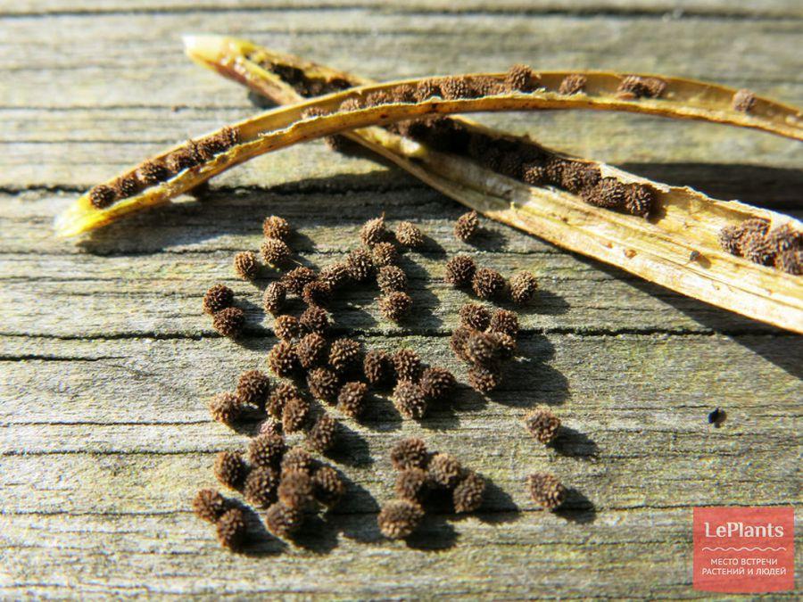 Семена Эшшольции