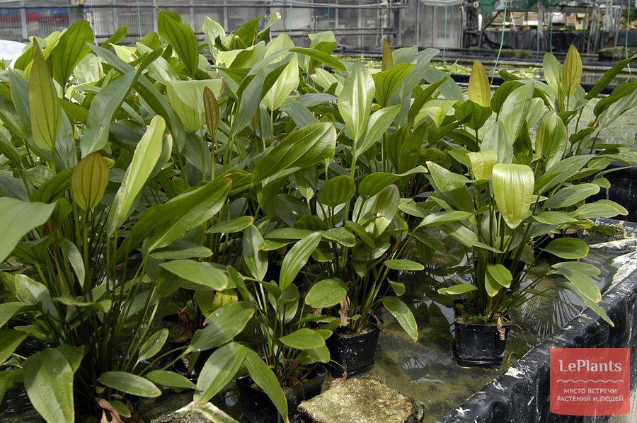 тонкости выращивания сортовых эхинодорусов