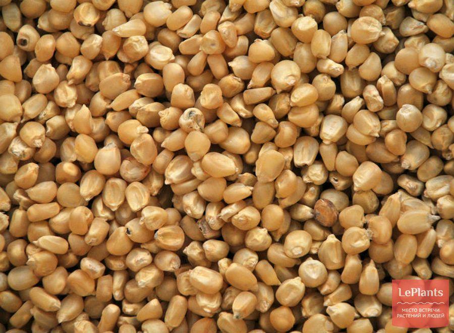зерновки кукурузы
