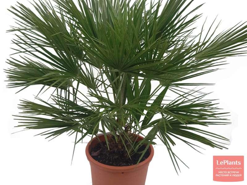 Как вырастить хамеропс из семян. Как ухаживать за пальмой хамеропс
