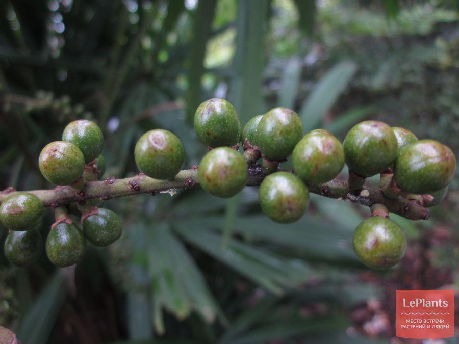 Незрелые плоды Ликуалы колючей