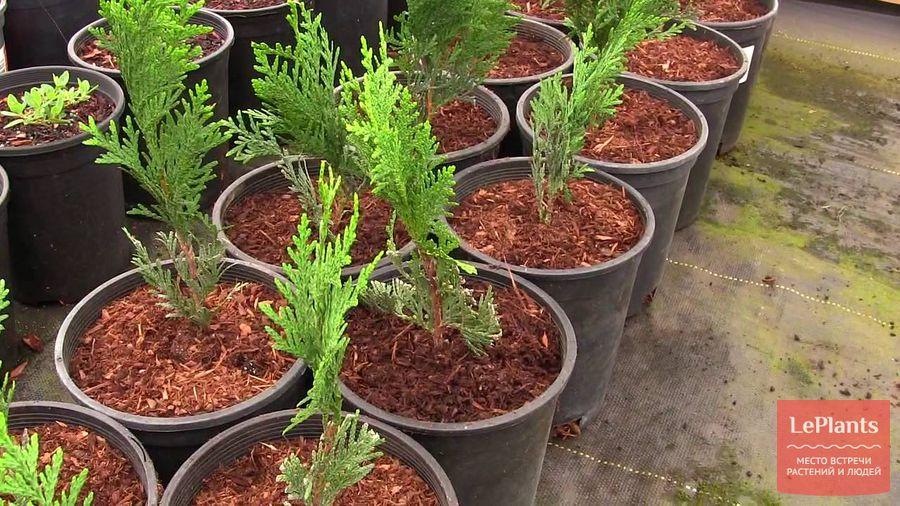 как выращивать тую из черенков