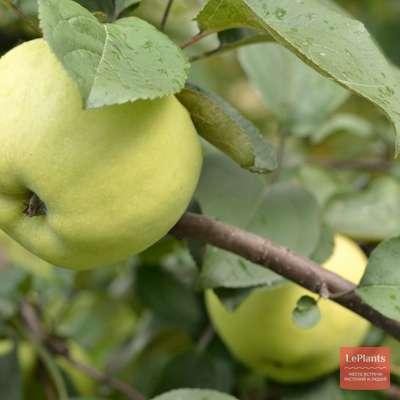 Яблоня 'Народное'