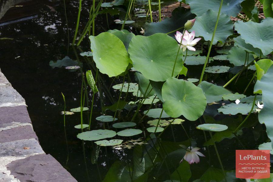 уход за лотосом в пруду