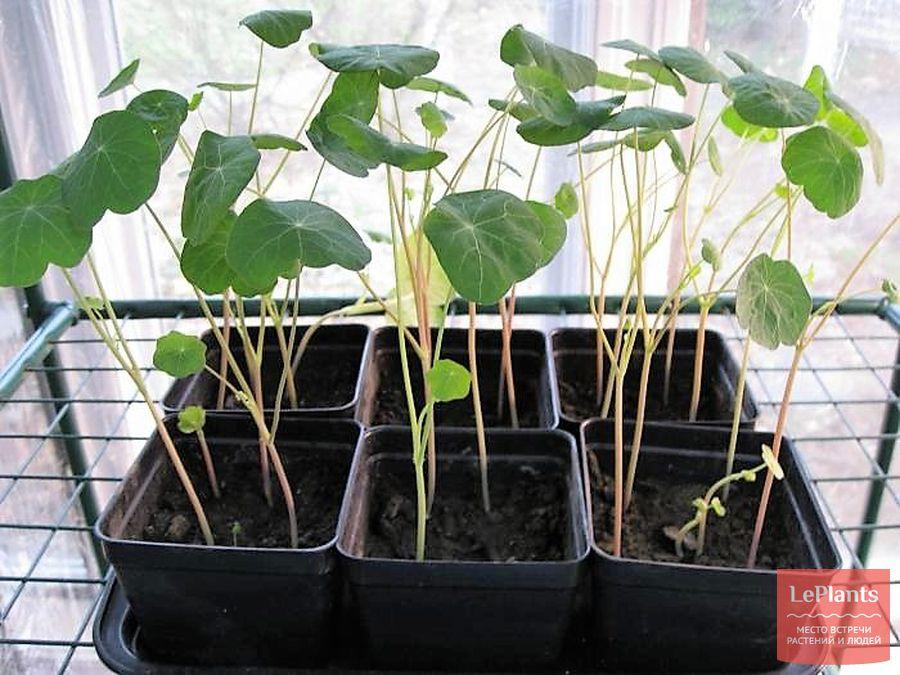 настурция — выращивание из семян