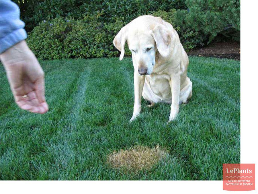 пятна на газоне от мочи собаки