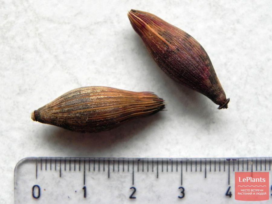 Семя пальмы