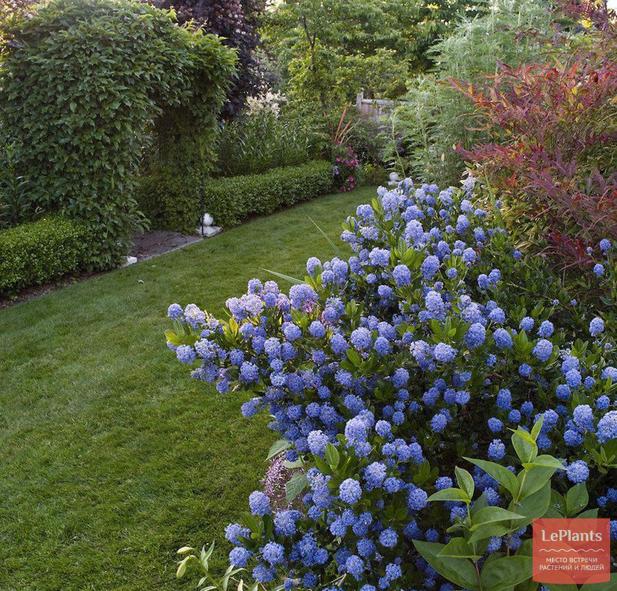 как правильно выращивать цеанотус в саду