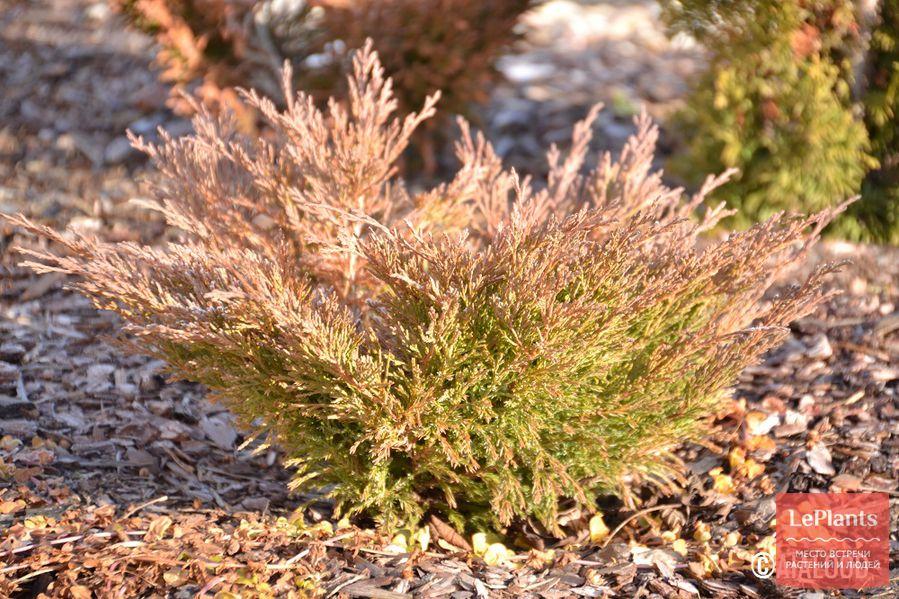 можжевельник — фото, описание,выращивание, уход