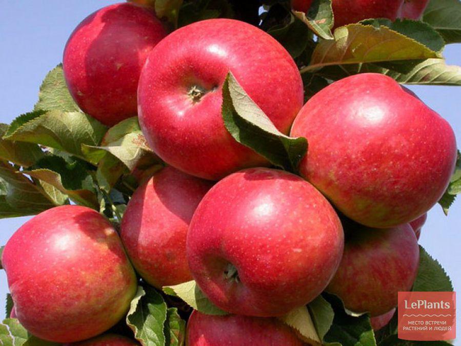 Яблоня домашняя 'Жигулевское'