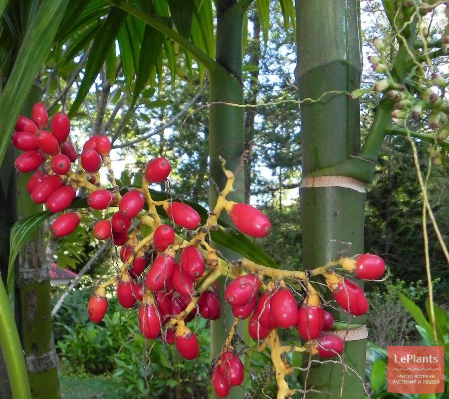 Плоды Ареки трехтычинковой