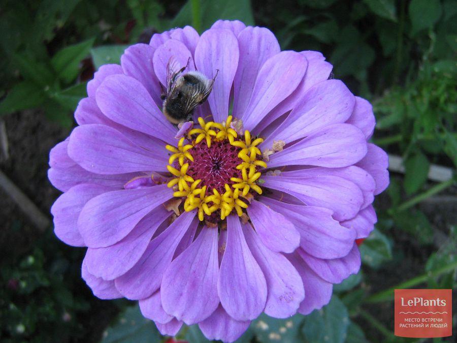цинния – выращивание из семян