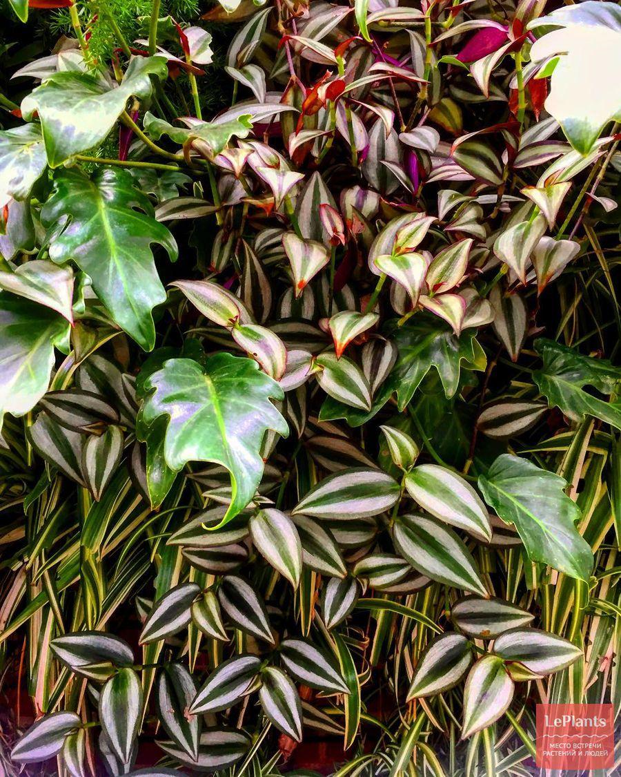 комнатное выращивание традесканции