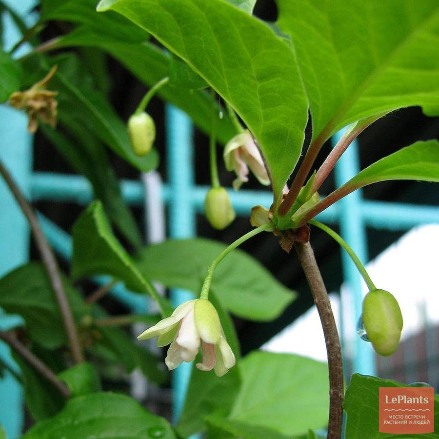 Цветки Лимонника китайского