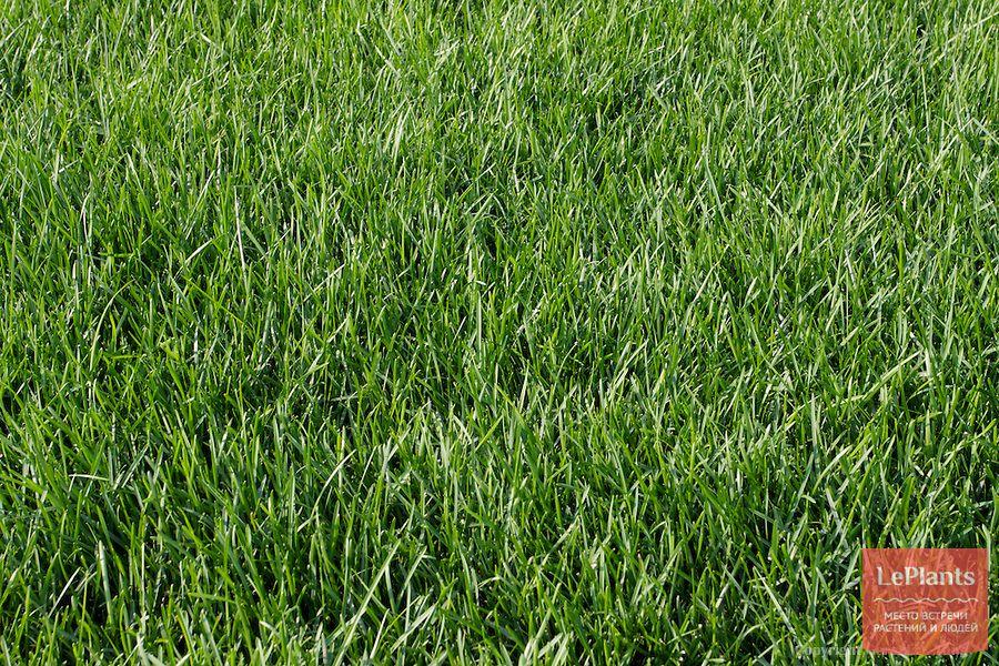 декоративная трава Мятлик луговой