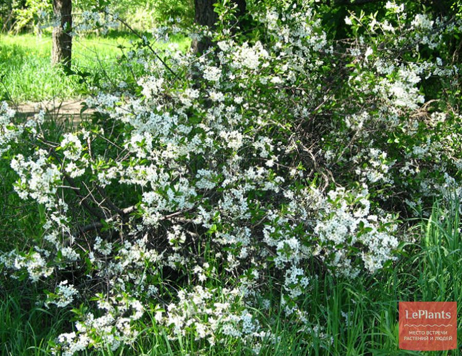 Вишня степная цветет