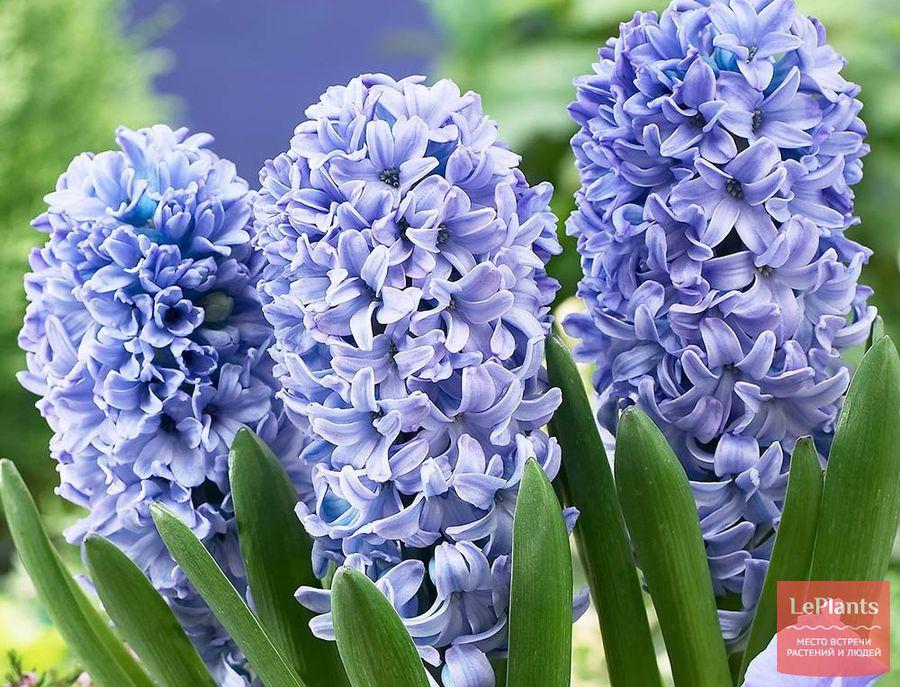 Hyacinth Blue Delph