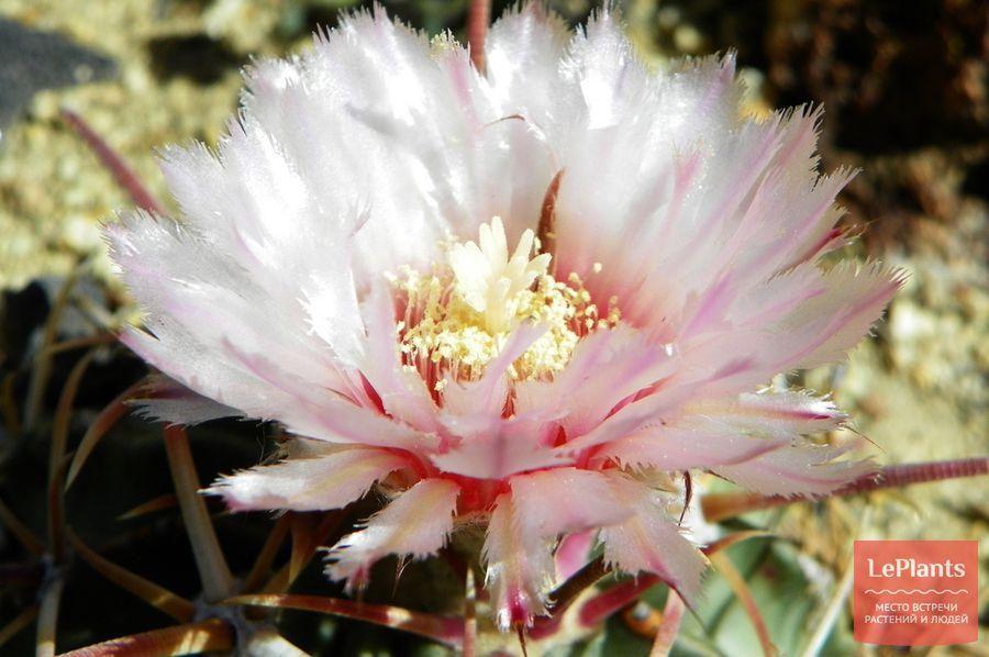 Эхинокактус техасский цветет