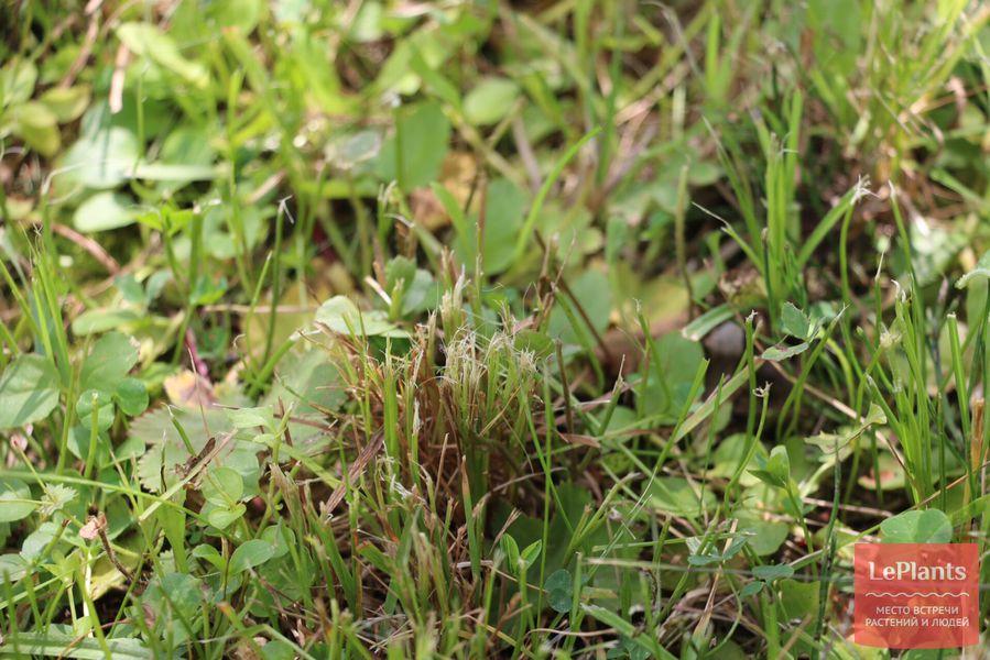 газонная трава рвется