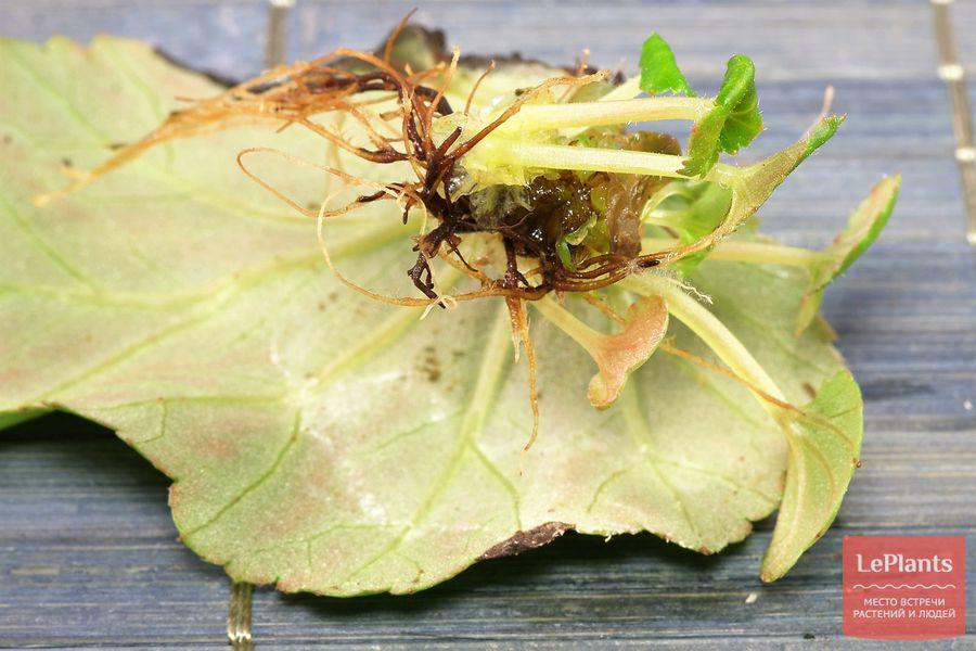 размножение и выращивание бегонии элатиор