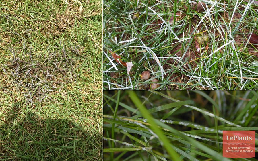 мучнистая роса на газоне