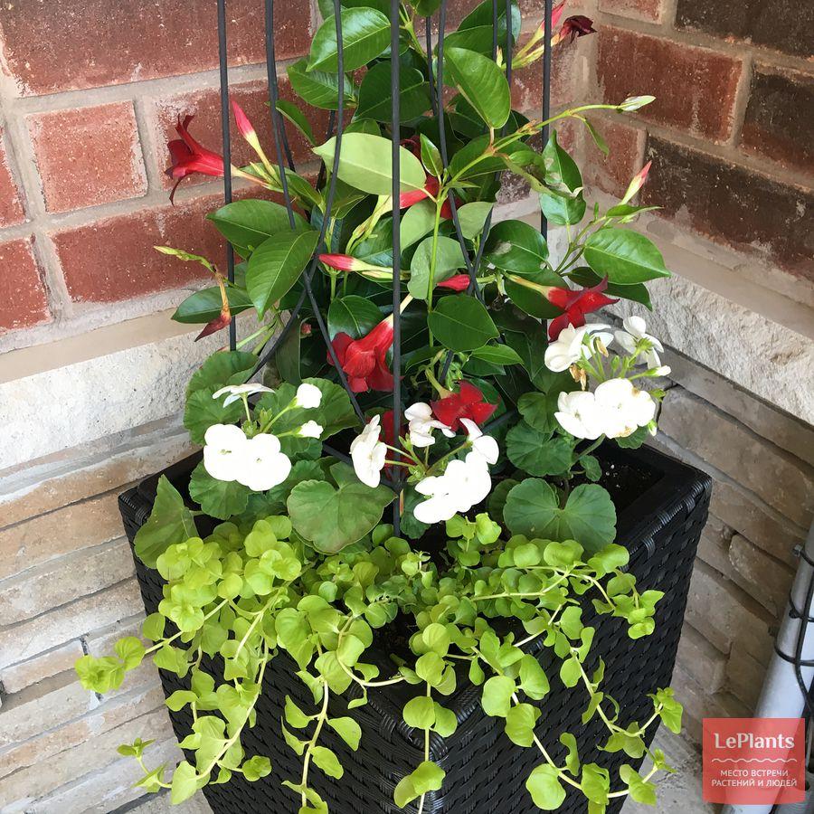 как выращивать дипладению дома