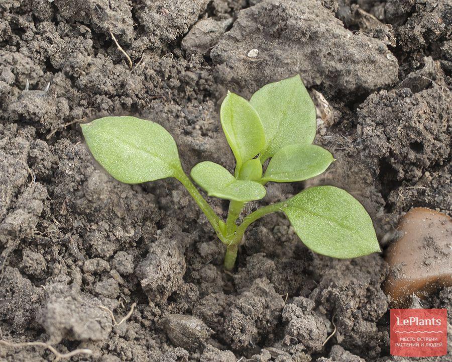 размножение и выращивание звездчатки средней из семян