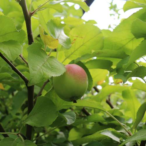 Яблоня Фаворит (позднеосенняя) (3 года)