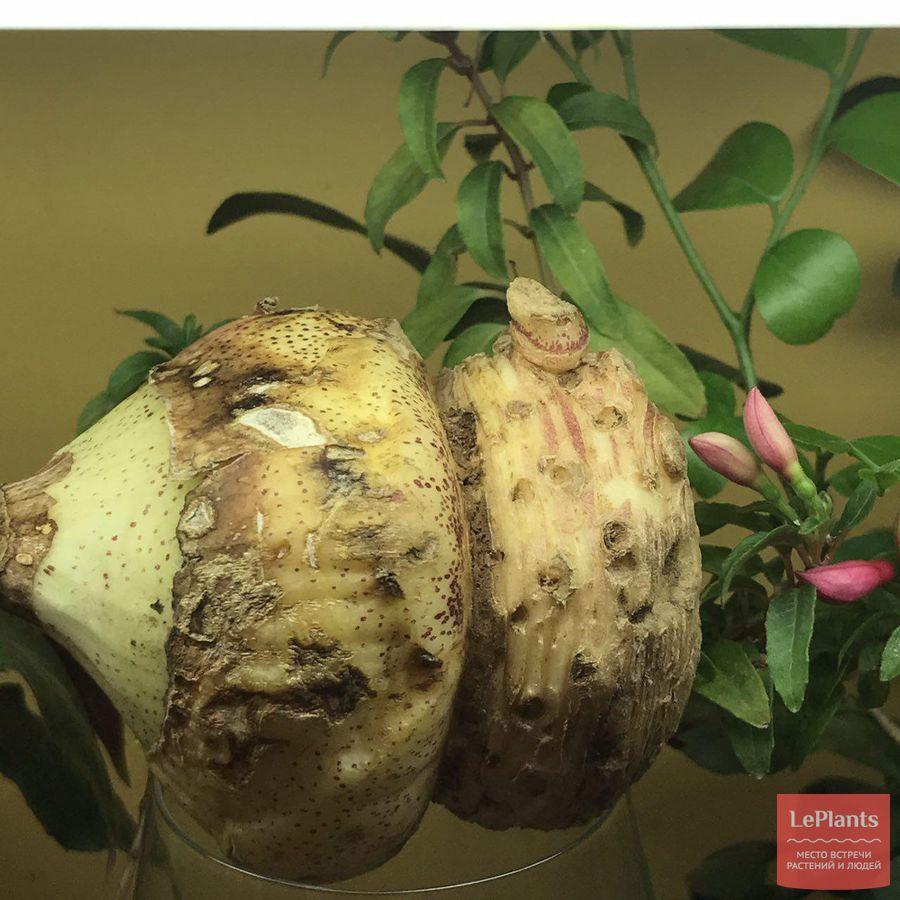 гниль луковицы скадоксуса