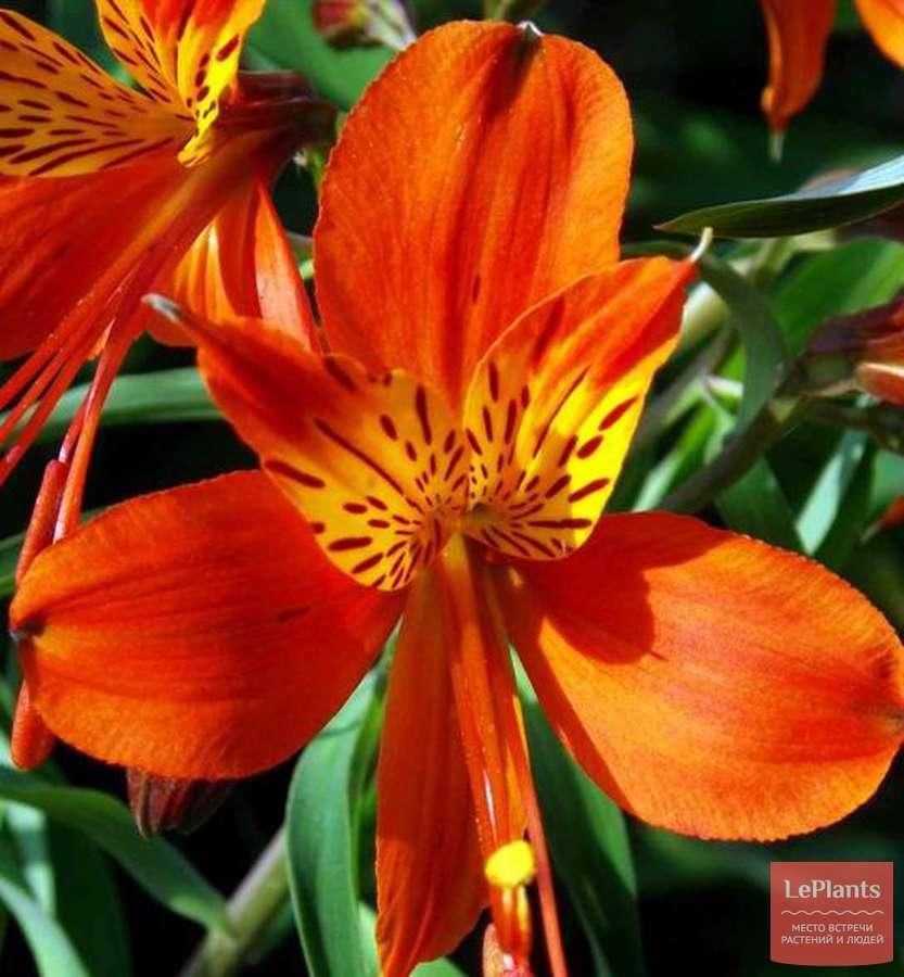 альстромерии оранжевые фото сортов в парке народу ненавидят