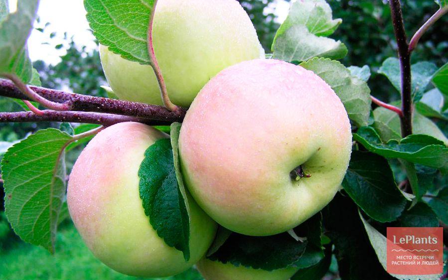 Яблоня 'Имрус'