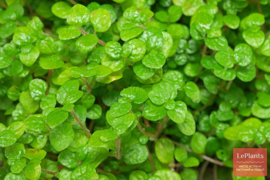 выращивание солейролии в домашних условиях