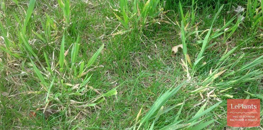 сорняки на газоне
