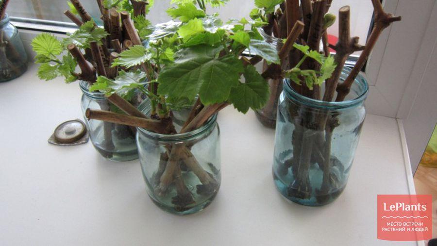 Размножение традесканции как размножить ее семенами делением и черенками в воде Уход после черенкования