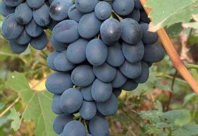 Виноград культурный 'Августа'