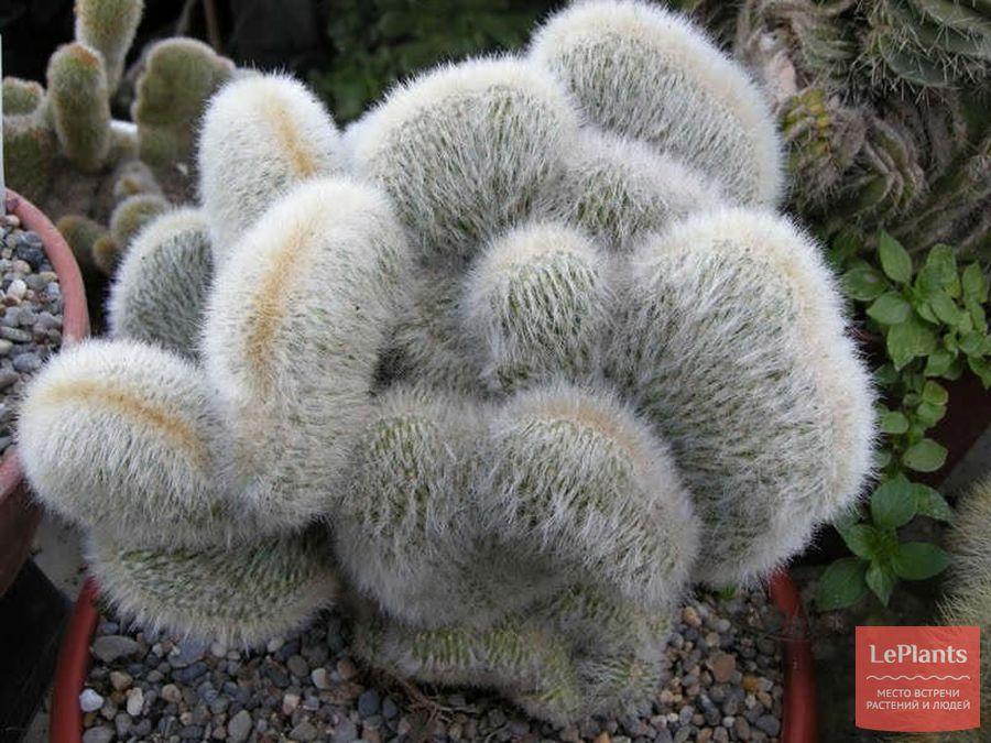 Cleistocactus strausii 'cristata'